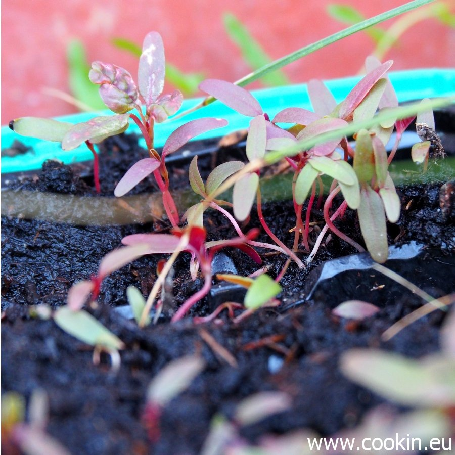 Microgreens Amaranth