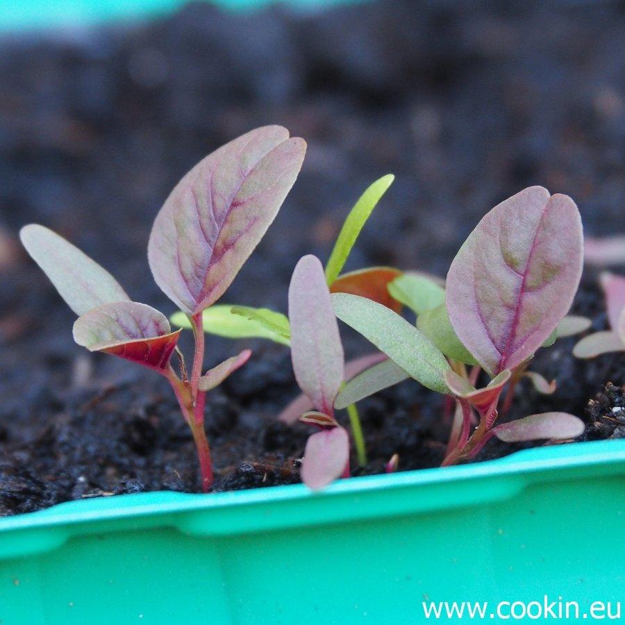 Microgreens Blutampfer