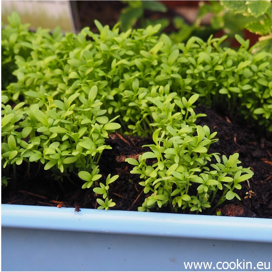 Microgreens Gartenkresse